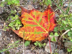 Lake Lauzon Maple Leaf ⎮ © Life Through the Kitchen Window